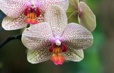 orchid-flower-13